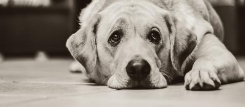 O quinto dedo canino pode machucar seu cão