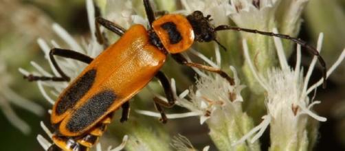 Beetle - Chauliognathus pensylvanicus - cirrusimage.com
