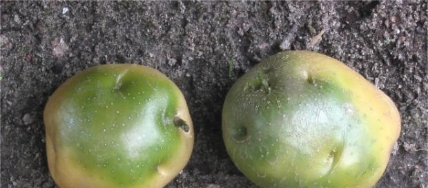 Potatoes that can kill - Rasbak via Wikimedia Commons