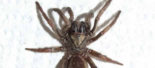 Australian trapdoor are related to spiders found only in South Africa [Image: Wikimedia]