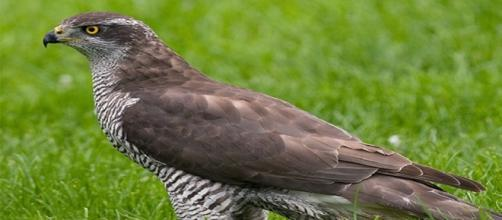 Sparviero utilizzato per falconeria