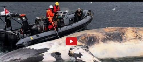 Body of a dead right whale being brought to land for a necropsy. Photo via YouTube