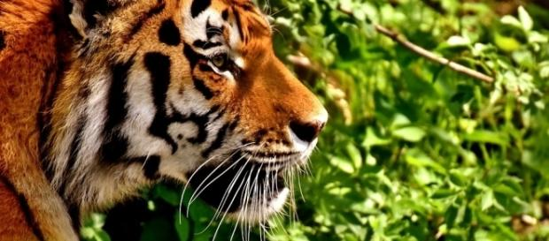 Tinder users have been asked not to use tiger selfies on the dating app [Image: Pixabay/CC0]