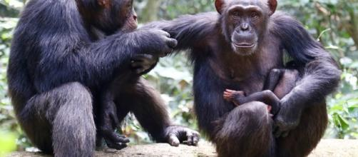 New Anthrax variant is causing havoc in Africa threatening chimp ... - zmescience.com