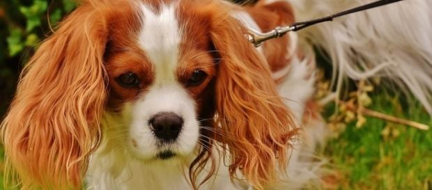 A Cavalier King Charles spaniel (similar to that pictured) died after a United flight was delayed for 2 hours [Image: Pixabay/CC0]