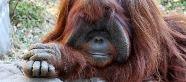 chantek the orangutan discussed in the text