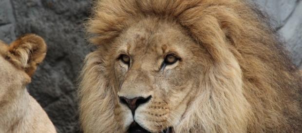 Free photo: Lion, Panthera Leo, Lioness - Free Image on Pixabay ... - pixabay.com