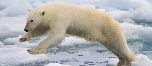 A polar bear in unfamiliar territory (Wikimedia Commons/Arturo de Frias Marques)