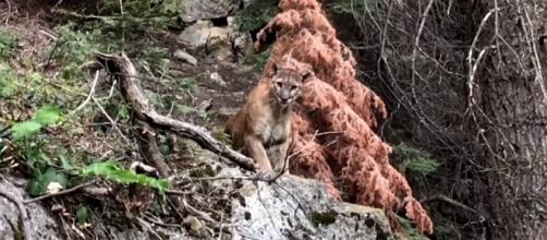 Mountain lion spotted by two hikers on a High Sierra trail in California [Image: YouTube/Brian D]