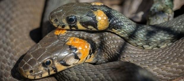 A new grass snake species has been identified in the UK [Image: Pixabay]