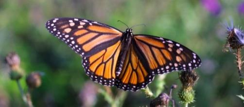 Monarch Butterfly by skeeze - pixabay