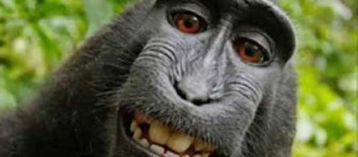 Famous selfie taken by Naruto the macaque may finally do a little good for his species per settlement terms. Screencap US News & More/YouTube
