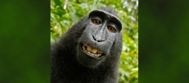 Settlement has been reached over copyright claims relating to the monkey selfie [Image: Self-portrait of Naruto/Wikimedia/public domain]