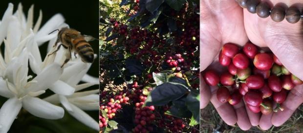 Coffee pollination and growth | Thichcoffee | Wikimedia
