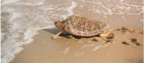 Female loggerhead sea turtle (Credit – wikimediacommons)