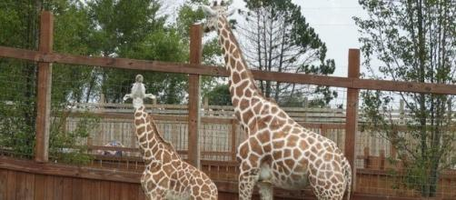 April the giraffe and baby Tajiri at the Animal Adventure Park in NY. Photo Credit: AAP Official Facebook