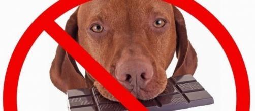 O chocolate está entre os alimentos mais perigosos para cães