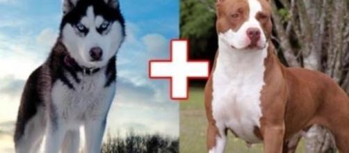 O pit bull e o husky siberiano foram duas raças escolhidas para uma cruza (foto: site gadoo.com)