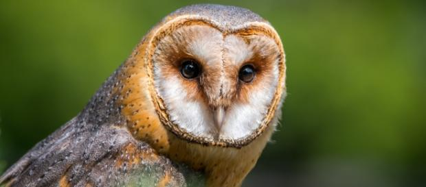 Barn owls retain their hearing well into old age. (Via Pixabay/LubosHouska)