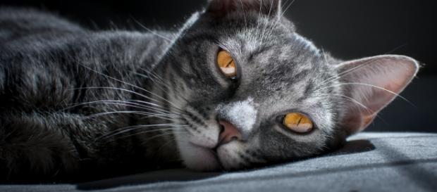 I gatti tra odio e amore come sono stati considerati for Gatti con occhi diversi