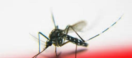 A mosquito - Image - tanakawho   Flickr