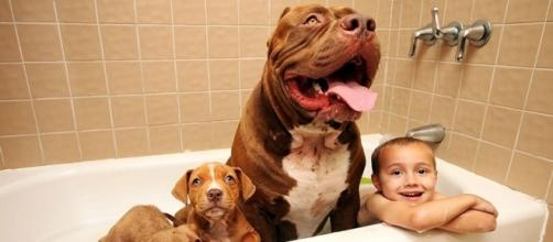 Conheça Hulk, o maior Pitbull do mundo – Blog Animal - com.br