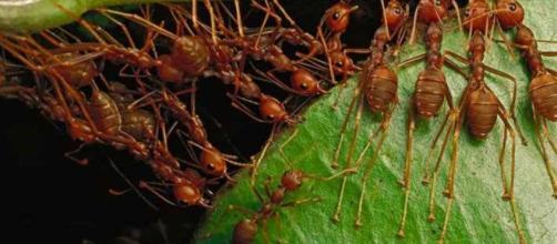 Una cooperación muy rentable hormiga-planta