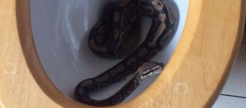 Cobra de quase um metro de comprimento foi achada dentro de vaso sanitário na Inglaterra