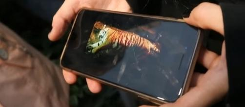 The tiger that was shot in Georgia was an escaped circus animal. [Image via YouTube/Atlanta Journal-Constitution]