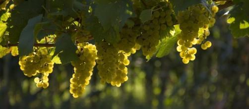 Grappoli d'uva bianca riscaldati dal sole