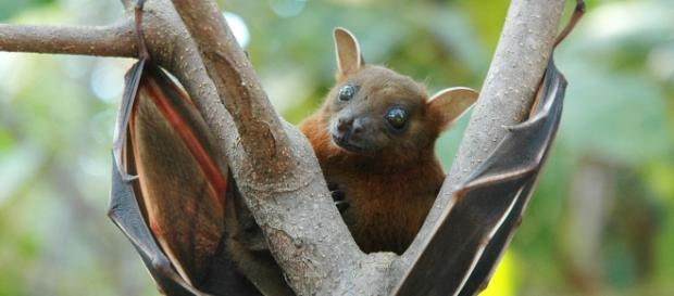 Lesser_short-nosed_fruit_bat_(Cynopterus_brachyotis) Image creative commons |wikimedia