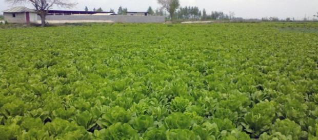 Lettuce field (Mehdi wikimedia commons)