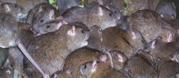 Mordidas de ratos deixaram garota francesa gravemente ferida