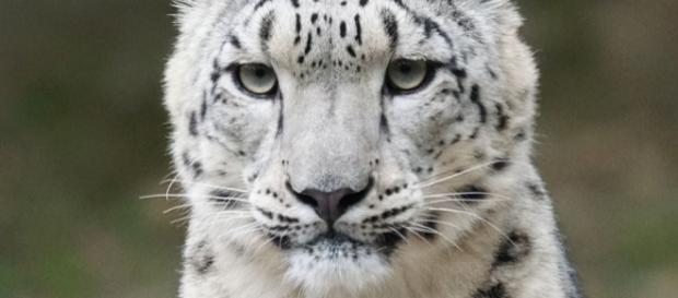 The majestic snow leopard has been removed from he endangered species list. Photo by Pixel-mixer via pixelbay.com