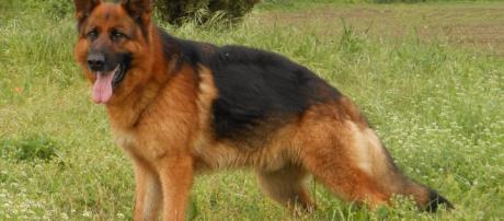 Pastore tedesco: il preferito tra i cani di razza - Italiano Sveglia - italianosveglia.com