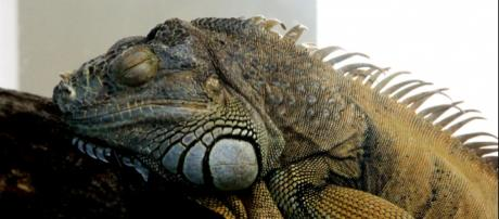 Iguana congelada pode 'ressuscitar'