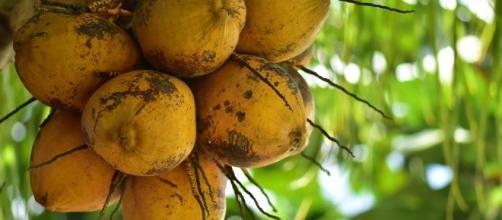 De aspecto similar al coco, el cupuazú cuenta con una untuosidad que permite utilizarlo como mantequilla