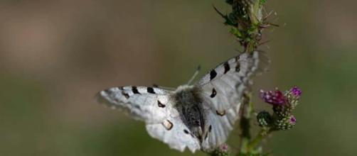 Parnasiuss Apollo. mariposa diurna frecuente en Asturias .