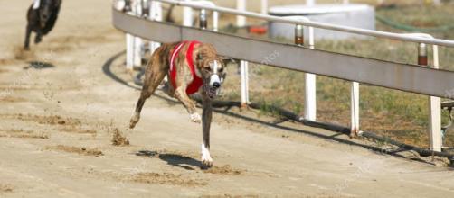 Perros galgos de carreras.. - depositphotos.com