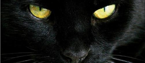 Amici pelosi: il gatto domestico, felis catus