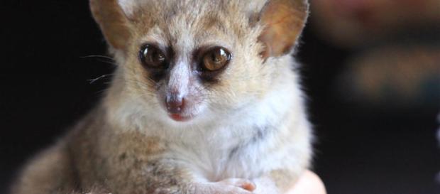 Descubiertas en Madagascar 3 nuevas especies de lémures ratón - com.es