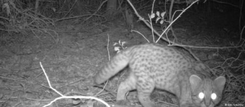 En busca del gato güiña | Ecología | DW | 04.07.2015 - dw.com