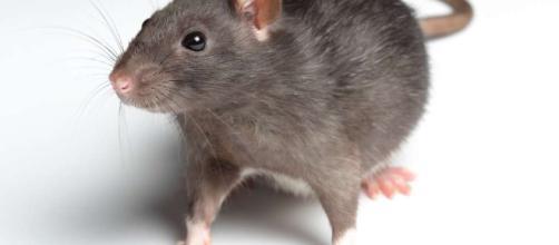 ¿Fueron las ratas las que propagaron la peste negra?