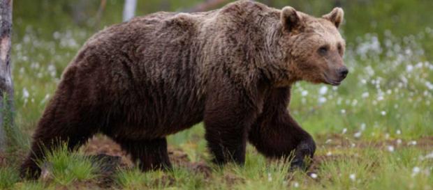 El oso pardo modifica sus costumbres para huir de su mayor amenaza ... - rtve.es