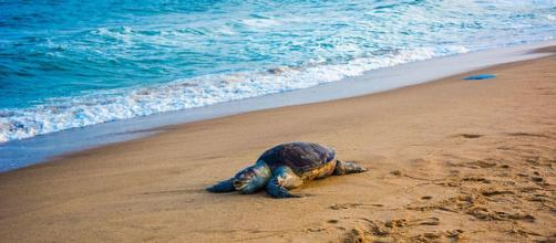 Olive Ridley sea turtle at Auroville sea beach (Image credit – Pinku Halder, Wikimedia Commons)