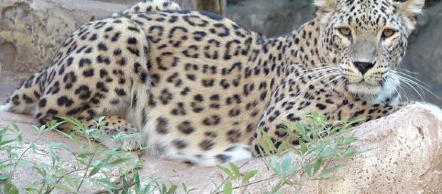 Leopardo salvaje enfermo de moquillo de perro