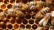 Arrestó a dos niños después de que mataran a 500k abejas