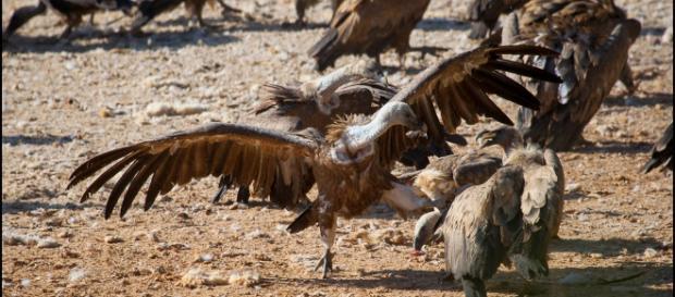 Fotografía y Conservación: Los buitres y el diclofenaco - blogspot.com