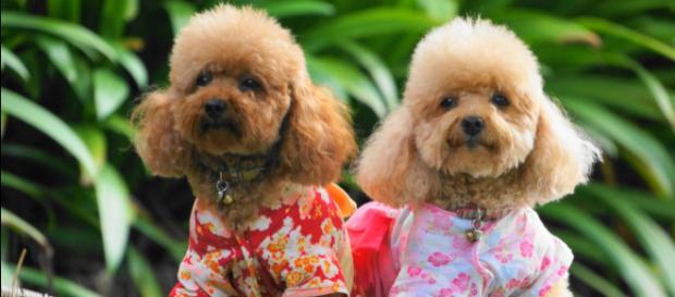 """A raça Poodle é oriunda da França e seu termo Caniche vem do """"pato"""" que significa """"nadador"""". (Google)"""