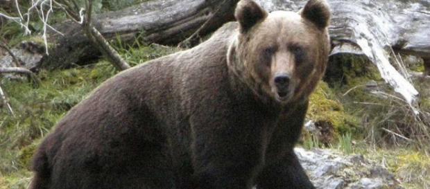 El oso pardo se consolida en la Cordillera Cantábrica con 40 ... - rtve.es